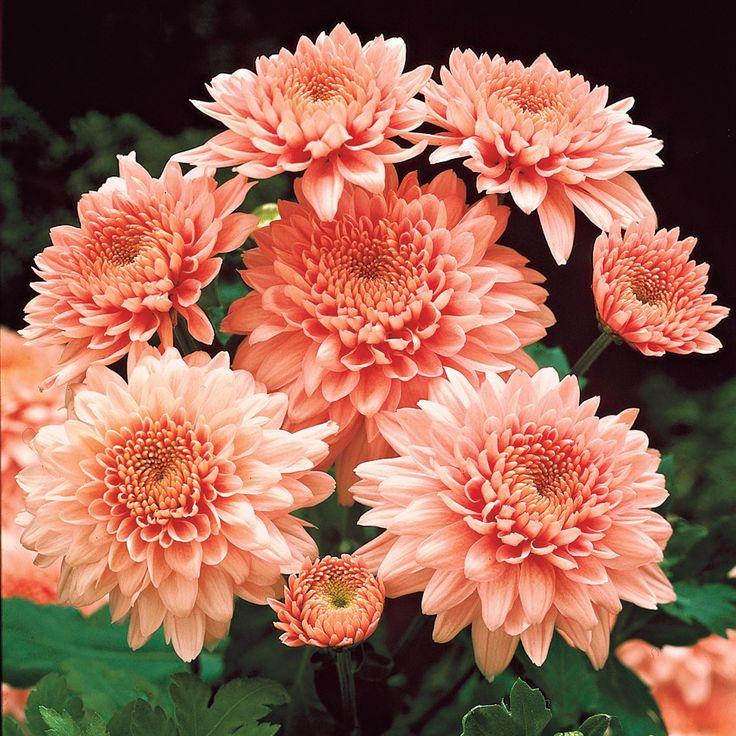 Garten-Chrysanthemen Shippi Apricot 50cm