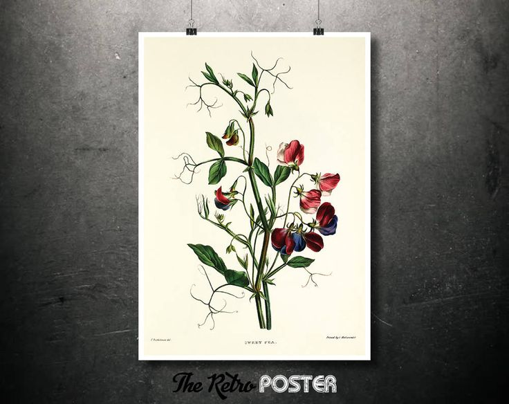 Sweet Pea (Lathyrus Odoratus) Delicate Pleasures - Plant, Plants, Plant Print, Nature Prints, Botanical Poster Vintage, Kitchen Gifts by TheRetroPoster on Etsy