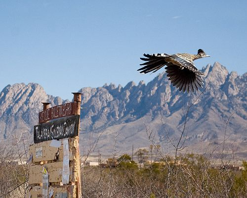 Roadrunner in flight. A moment ago he was sitting on the sign.