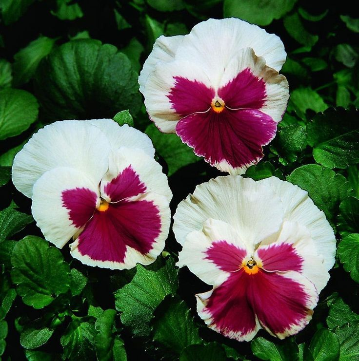 Buy Flower Seeds Online 500 Pansy Seeds Character White W/ Rose Face