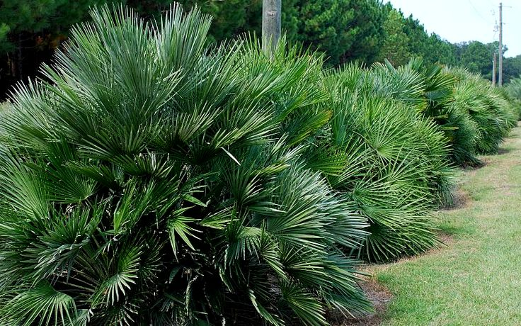 Native to Europe and North Africa, European Fan Palm, also known as the Mediterranean Fan Plam, is one of the small bush types.