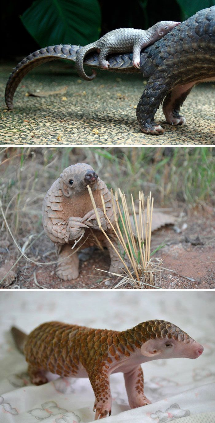 Baby Pangolin, just look at his soft underside. It's so hard to believe these lovely little mammals are the most hunted and trafficked animals in the world -- just so people can eat them for status and use their scales for nonsensical and completely unscientific reasons!