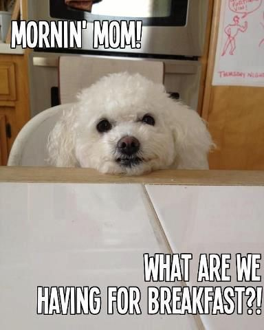 Hungry bichon ~ This is totally Izzy!
