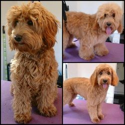 Advice and guidance on  how to  groom your cockapoo. Includes examples of grooming cuts.