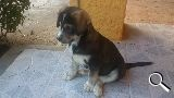 MIL ANUNCIOS.COM - Regalo perro. Compra-venta de perros regalo perro en Castilla y León. Regalo de cachorros..
