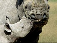 Rhinoceros with a baby