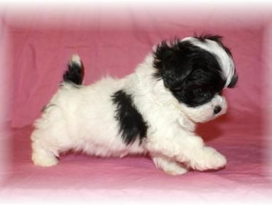 Previous Teacup Shih-Poo & Teacup Poodle Puppies