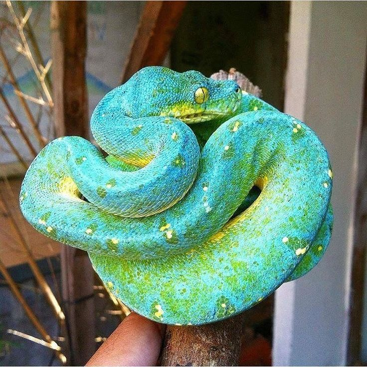 """3,063 Likes, 9 Comments - Reptile Rooms (@reptilerooms) on Instagram: """"@greentreepythons photo"""""""