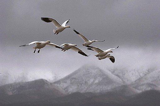 Oies des neiges en migration by Vincent Munier