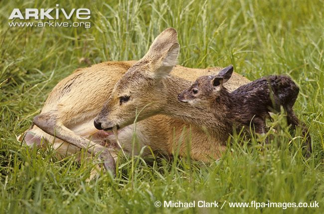 Chinese water deer female with newborn fawn