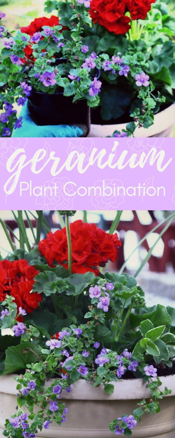 The Easiest Plant Combination Featuring Geraniums A Great Sy Vibrant Summer Flower Very Showy Blooms That Last All And Into Fall