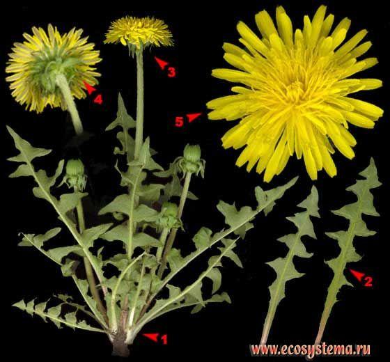 Одуванчик лекарственный —Taraxacum officinale Wigg. s. l.