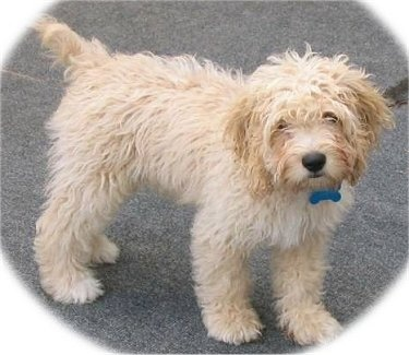 Google Image Result for http://www.dogbreedinfo.com/images16/CockapooAyersBEARCOCKAPOO.JPG