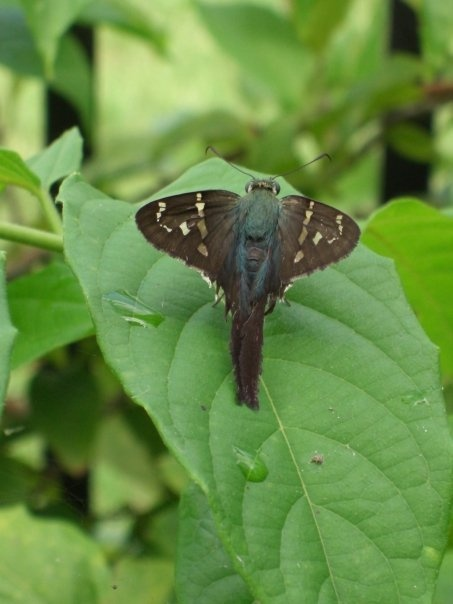 Long Tailed Skipper Host Plants In Florida Beans And
