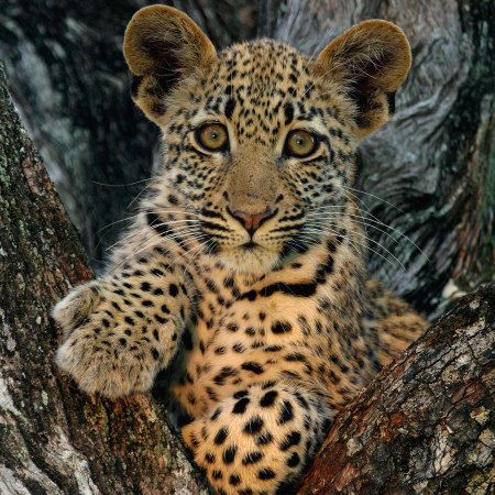 Photo of a leopard cub in Londolozi