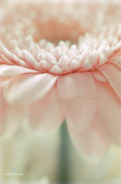 Soft Pink Gerbera Daisy