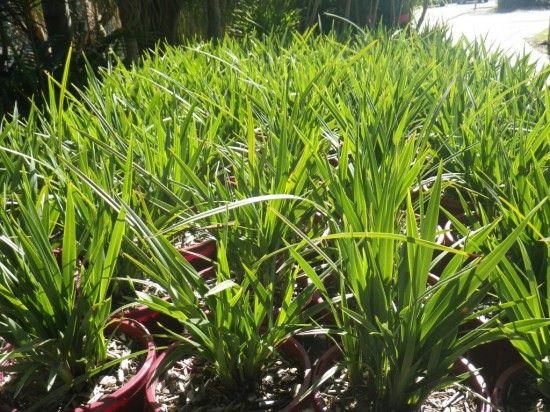 Dianella Kentlyn » Landsdale Plants