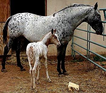 To put it simply, Tiger horse is a gaited, spotted horse with Baroque conformation. The type is thousands of years old, there were noble, spotted horses with soft gaits in ancient China and later in Spain, the Jennets. Usually the modern Tiger Horse has got its color from Appaloosas and gaits from gaited horses but there also are some gaited Appaloosas.
