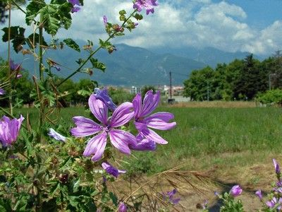 Flowers with Olympus mountain on background