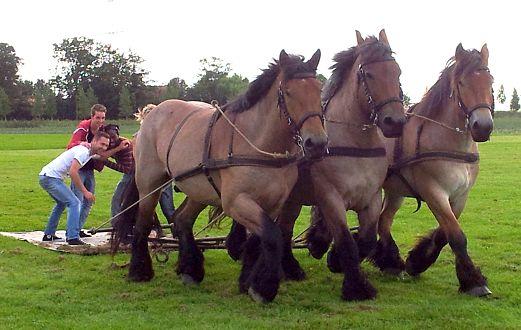 Driespan Belgische trekpaarden