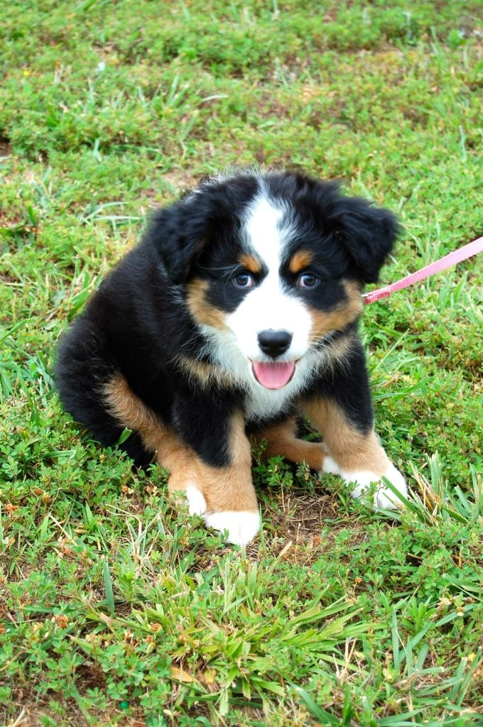 17 Best images about Bernese Mountain Dog For Sale In Northern Ireland UK