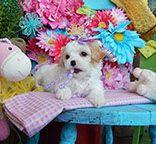 www.cavachonsbydesign.com Cavachon puppies for sale, Cavachon, Cavachons, Cavachon dog, Cavachon pups, Cavachon pup, Cavachons dogs for sale, Cavachon puppies, Cavachons for sale, Cavachon breeder, Cavachon breeders, Bichon