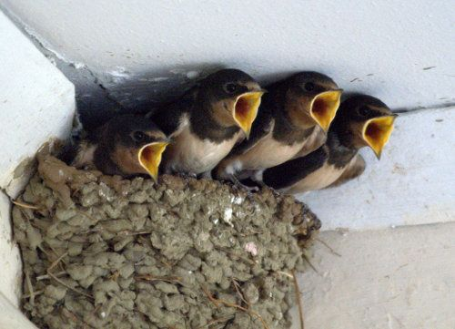 Always hungry! Barn swallow chicks meet the feeding parent with their mouths open and ready. The nest is placed on a beam or against a vertical projection. It is built by both sexes with mud pellets collected in their beaks and lined with grasses, feathers or other soft materials. Photo: Nathanael Andreou