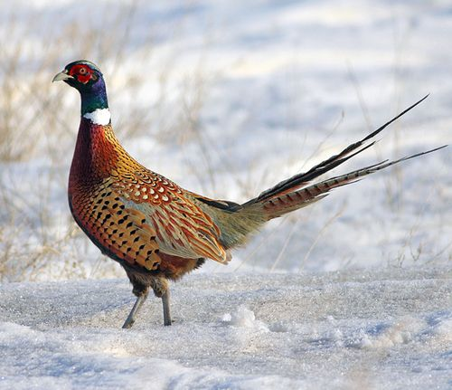 Ring necked pheasant ~ Phasianus colchicus October 2002, Estevan SK