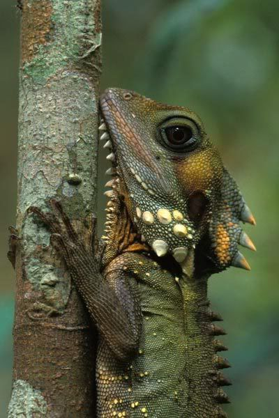 **Hypsilurus boydii (Boyd's Forest Dragon)  is only in the rainforests of northern Queensland, Australia.  It has very enlarged cheek scales, a prominent crest, and a yellow dewlap under its chin.  It spends the majority of its time perched on the trunks of trees, usually at around head height. It typically commence activity at dawn and cease activity at dusk, remaining active even when it rains.