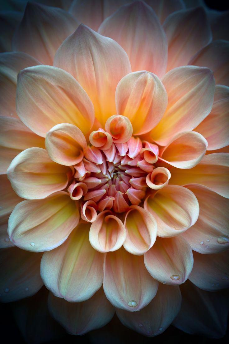 Dahlia - Dahlia Closeup