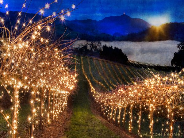 Christmas lights in the vineyard