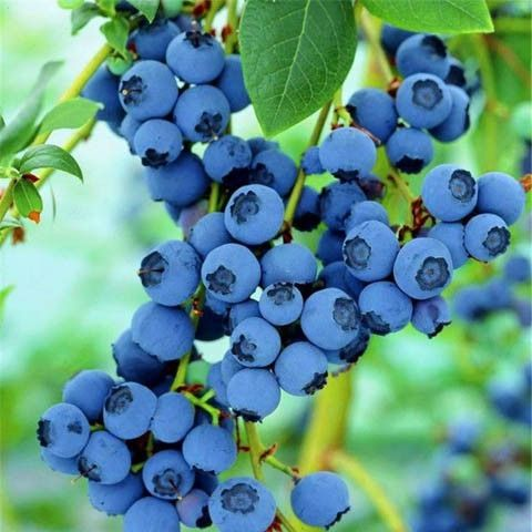 100 Pcs/Lot Blueberry Tree Seed Fruit Blueberry Seed