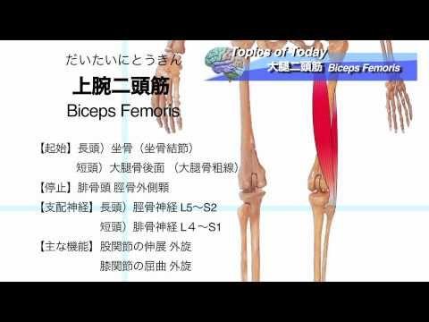 【解剖学】大腿二頭筋 Biceps Femoris:理学療法士による身体活動研究 - https://www.youtube.com/watch?v=hGDrNPKvw2U