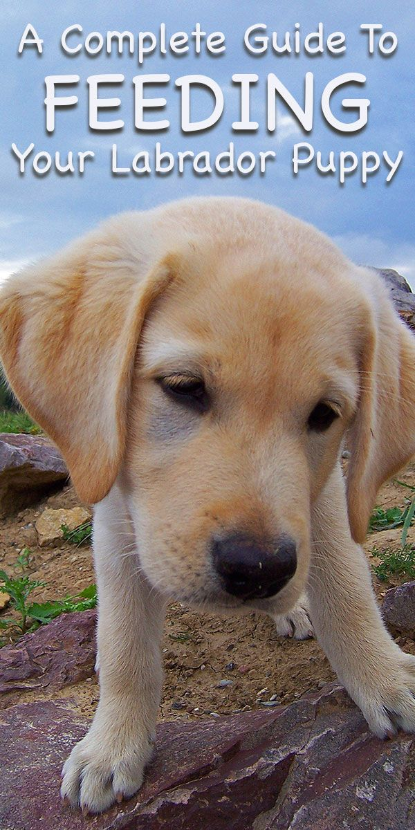 Best Food For Puppies >> Feeding Your Labrador Puppy: How Much, Diet Charts And The Best Food | Labrador puppy, Labrador ...