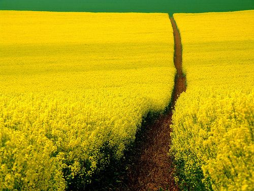 and it was all yellow: Yellow Flowers, Rapese, Flowers Fields, Walks, Color, Mustard Fields, Pathways, Minimalist Photography, Yellow Brick Roads