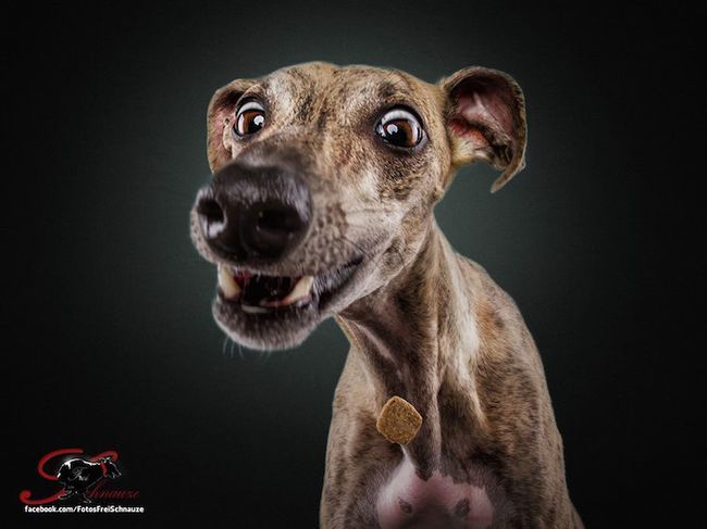 Забавные фотографии собак, ловящих лакомства (11)