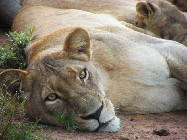 Lioness in the Kariega Game Reserve, South Africa.