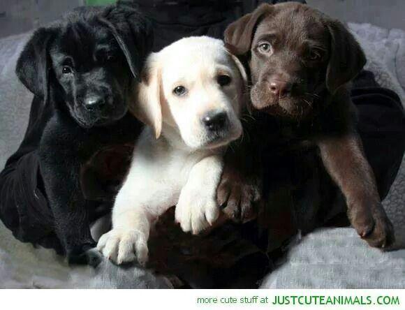 Yummy lab puppies