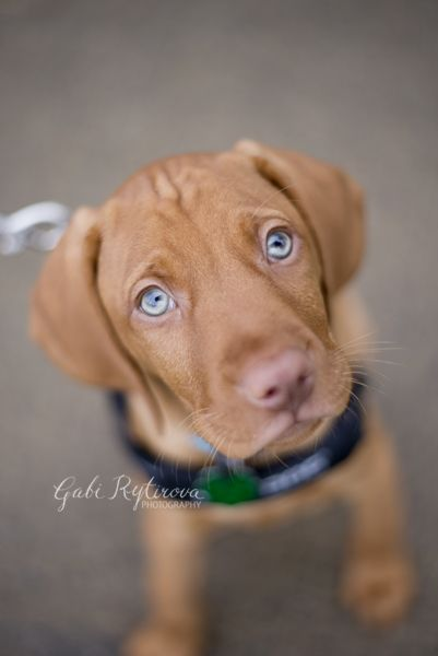 Those.EYES! - 10 weeks old, #vizsla, #puppyvizsla
