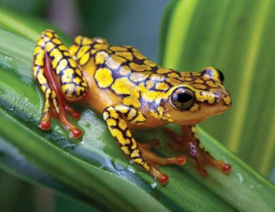 Harlequin Poison Dart (Arrow) Frog - Oophaga histrionica - This species of poison frog is of the family Dendrobatidae. Its native range is from western Ecuador to the El Chocó region of tropical rainforests, among fallen limbs or leaf litter