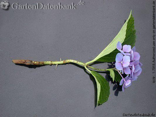 Hortensie vermehren: Stecklinge bewurzeln oder teilen
