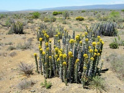 Noorsveld, near Jansenville, South Africa -- during times of drought this plant (euphorbia) is cut up and fed to the cattle