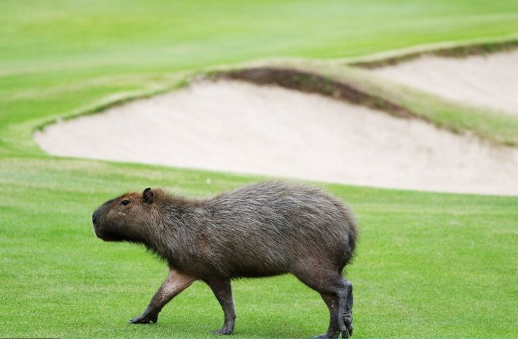 The Olympic golf course has been taken over by capybaras