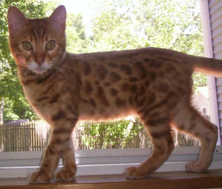 aaa+ bengals awesome bengal breeder londonderry nh absolutely amazing bengals kittens bengal breeder bengal breeder nh bengal kittens adoption kittens for adoption awesome kittens lap leopard exotic cats