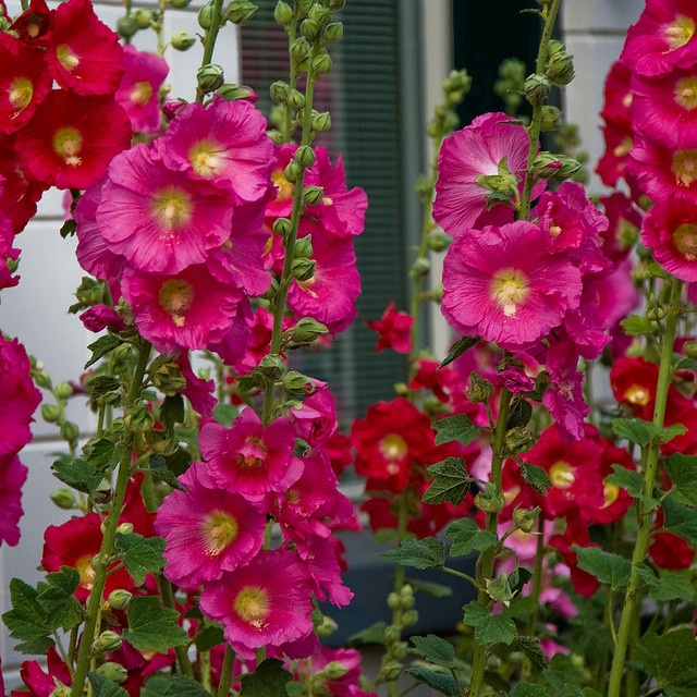336 best hollyhocks in my garden grow images on pinterest pools planting hollyhocks warning no flowers the first year against the fence perhaps mightylinksfo