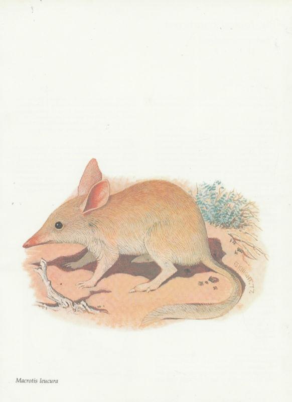 The now extinct Lesser Bilby. VINTAGE PRINT YALLARA (LESSER BILBY) 1978 F KNIGHT Artist AUSTRALIAN ANIMAL | eBay