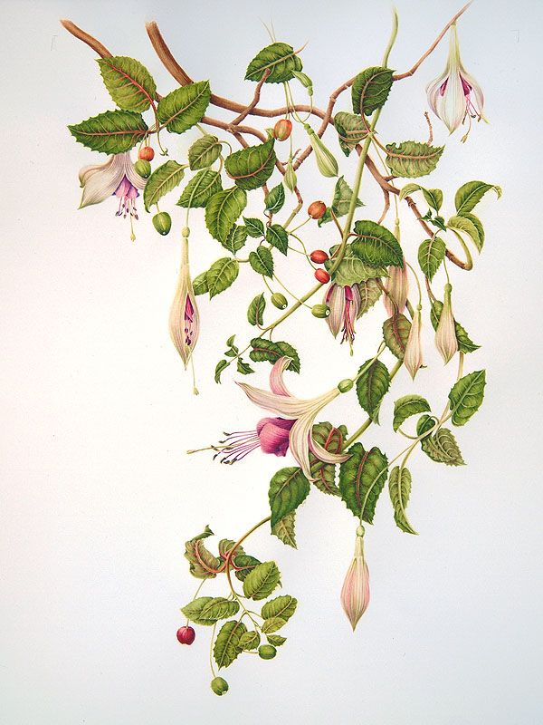 Looks like a vintage fuchsia illustration from a fantastic horticultural dictionary that I must find and read. Can you imagine what the illustration for Passion Flower must look like?!?!?! omg.