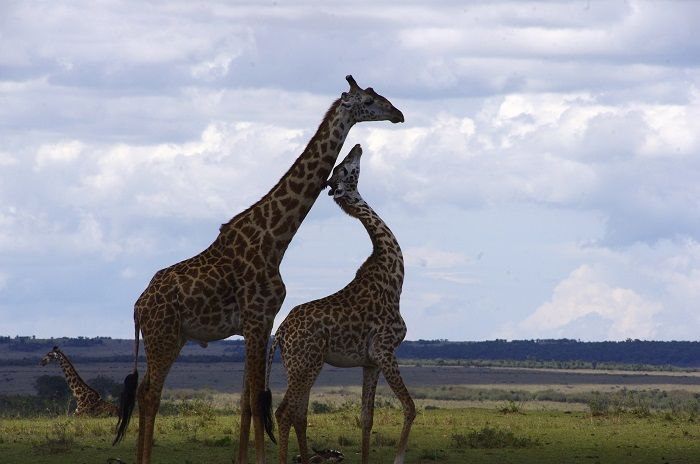 A few things you didn't know about giraffes.