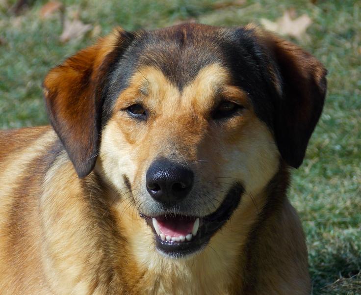 Yellow Lab German Shepherd Mix Dog Scherer Animals