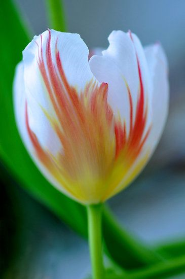 Fiery Tulip by Renee Hubbard Fine Art Photography